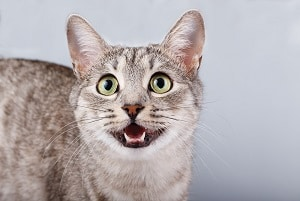 Do Tabby Cats Meow A Lot