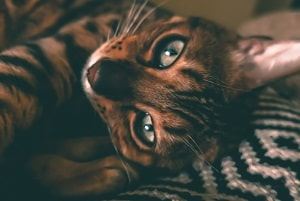 how do tabby cats get their stripes