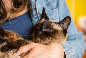 Adorable Ways Siamese Cats Show Affection