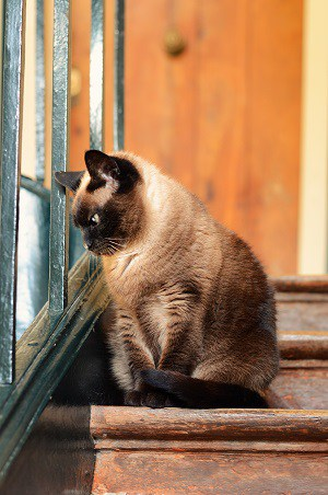 Are Siamese Cats Good For Apartments