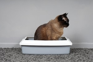 Best Litter Boxes for Siamese Cats