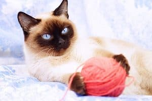 Best Toys For Siamese Cats