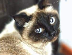 Can A Tabby Or A Black Cat Have A Siamese Kitten Faqcats Com