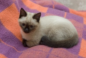 Can You Really Train A Siamese Cat