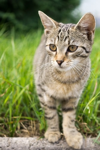 Do Bengal Cats Eat A Lot How Much To Feed Your Cat Faqcats Com