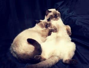 Do Siamese Cats Need A Companion