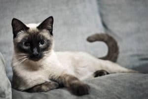 How To Prevent Siamese Cats From Scratching Furniture