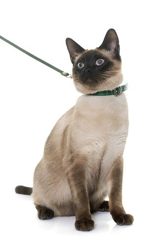 How To Train A Siamese Cat To Walk On A Leash