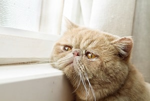 Separation Anxiety And Tabby Cats:What You Should Know