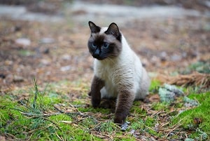 Should You Let A Siamese Cat Go Outside