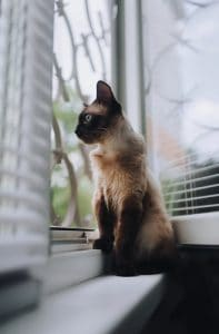 Siamese Cats and What Sets Them Apart