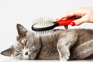 Tabby Cats And Shedding