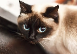 The Difference Between Ragdoll And Siamese Cats Faqcats Com