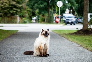The Difference Between Siamese And Balinese Cats