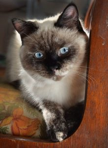 The Siamese Cat Growth Timeline What to Expect at All Ages