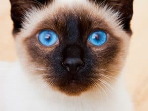 This Is Why ALL Siamese Cats Have Blue Eyes
