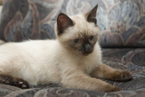 What Makes Siamese Cats Different 7 fascinating facts