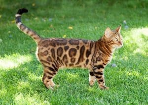 How Long Can You Leave A Bengal Cat Alone Tips And Considerations Faqcats Com
