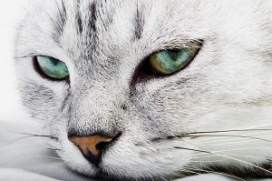 Are Black Cat Whiskers Rare The Fascinating Answer Faqcats Com