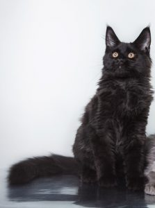 Black Maine Coon Cats Photos Personality Color Facts Faqcats Com