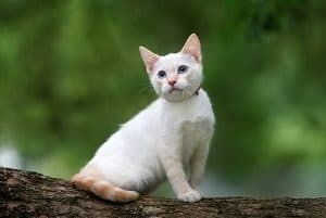Flame Point Siamese Cat Personality Traits Behavior Faqcats Com