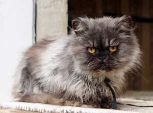 Why Are Persian Cats So Expensive Price Chart Guide Faqcats Com