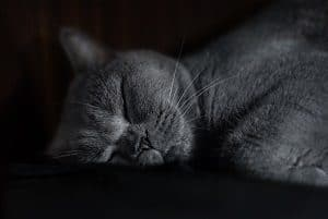 Do Russian Blue Cats Get Along With Other Cats Faqcats Com