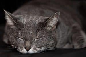 Are Russian Blue Cats Rare The Interesting Answer Faqcats Com