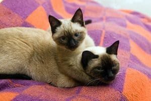 How Long Do Siamese Cats Stay Pregnant Timeline Stages Faqcats Com