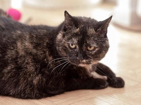 tabby cats vs tortoiseshell cats