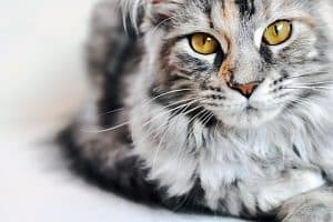 What Is A Tabby Maine Coon Cat Complete Guide Faqcats Com